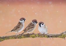 三只滑稽的小的麻雀鸟坐一个分支在公园 免版税库存照片