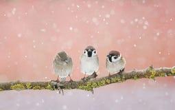 三只滑稽的小的麻雀鸟坐一个分支在公园 免版税库存图片