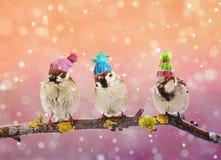 三只滑稽的鸟麻雀坐在冬景花园的一个分支我 库存照片
