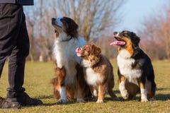 三只澳大利亚牧羊犬画象  免版税库存图片