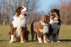 三只澳大利亚牧羊犬画象  库存照片