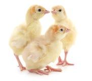 三只火鸡 免版税库存照片