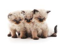 三只灰色猫 库存照片