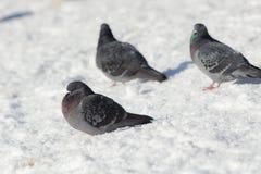 三只灰色鸽子 免版税库存照片