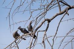 三只灰色去鸟Corythaixoides concolor坐树 免版税库存图片