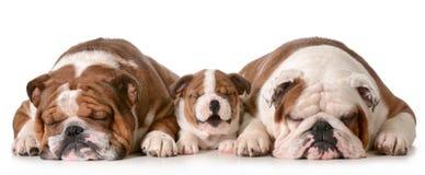 三只牛头犬 免版税库存图片