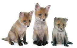 三只狐狸崽在演播室 图库摄影