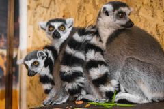 三只狐猴看看框架 免版税库存图片