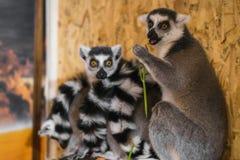 三只狐猴看看框架 免版税图库摄影