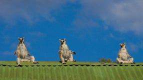 三只狐猴坐房子的屋顶反对蓝天背景 马达加斯加 免版税图库摄影