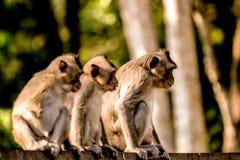三只猴子在柬埔寨 图库摄影
