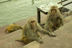 三只猴子 免版税库存照片