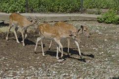 三只獐鹿轮 免版税库存图片