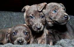 三只甜小狗想要很多爱 免版税库存图片