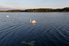 三只白色天鹅在日落的一个湖 库存照片