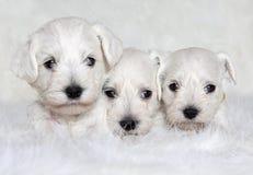 三只白色小狗 库存图片
