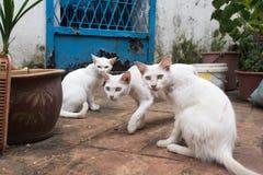 三只白色猫坐街道 两他们有虹膜异色症 在中央动物的焦点 图库摄影