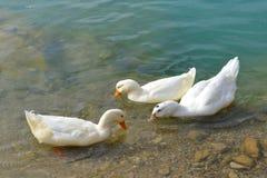 三只白色鸭子游泳 库存图片