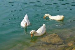 三只白色鸭子游泳 库存照片