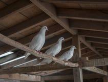 三只白色鸽子 库存照片