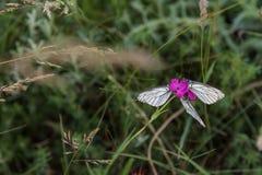三只白色蝴蝶特写镜头在紫色康乃馨的 库存图片