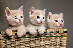 三只红色小猫 库存照片