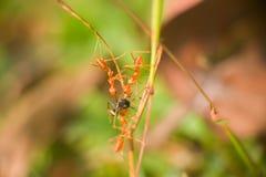 三只红色蚂蚁另一个种类的被捉住的间谍和分开撕毁它 免版税库存图片