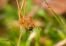 三只红色蚂蚁另一个种类的被捉住的间谍和分开撕毁它 库存照片