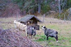 三只绵羊在封入物 库存图片