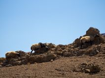 三只绵羊在岩石后掩藏保护自己免受t 免版税库存照片