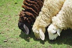 三只绵羊本质上在草甸的 免版税库存照片