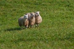 三只绵羊羊属白羊星座排队 免版税库存照片