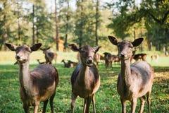 三只美丽的好奇獐鹿在公园 库存图片