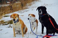 三只美丽的小狗在雪坐在新罕布什尔 库存图片