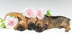 三只美丽的法国牛头犬小狗 图库摄影