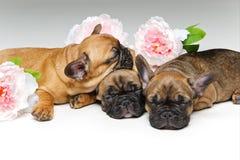 三只美丽的法国牛头犬小狗 免版税库存图片