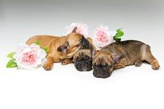 三只美丽的法国牛头犬小狗 免版税库存照片