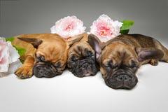 三只美丽的法国牛头犬小狗 免版税图库摄影