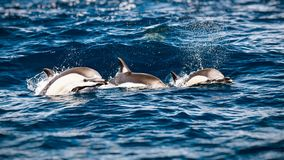 三只美丽的海豚 免版税图库摄影