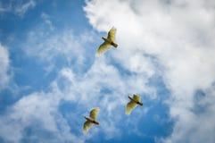 三只美冠鹦鹉 免版税库存照片