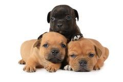 三只美国斯塔福德郡狗小狗画象  库存图片