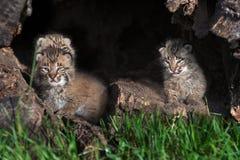 三只美洲野猫小猫(天猫座rufus)在日志 免版税库存照片