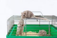 三只老鼠沙鼠笼子房子细胞 免版税图库摄影