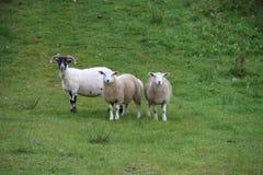 三只苏格兰绵羊 免版税库存照片