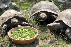 三只草龟 免版税库存照片