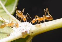 三只蚂蚁 吃 库存图片