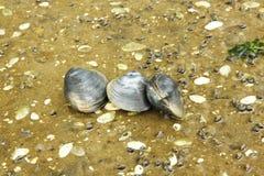 三只蛤蜊坐湖地面 库存照片