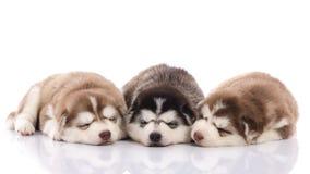 三只西伯利亚爱斯基摩人小狗睡觉 库存图片