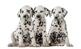 三只达尔马希亚小狗坐 免版税库存照片