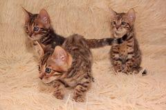 三只逗人喜爱的孟加拉小猫在一条软的床罩使用 一个月大 免版税库存图片